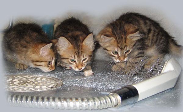 när kan kattungar börja äta torrfoder